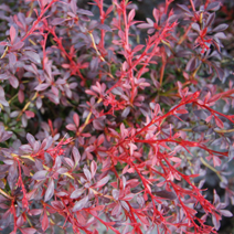 Berberis thunbergii 'Orange Dream' PBR 10