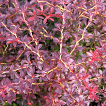 Berberis thunbergii 'Orange Dream' PBR 5