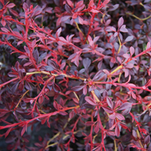 Berberis thunbergii 'Orange Dream' PBR 8