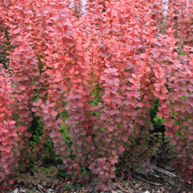 Berberis thunbergii 'Orange Rocket' PBR 4