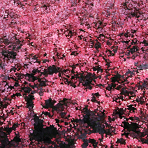 Berberis thunbergii 'Pink Queen' 3