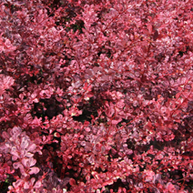Berberis thunbergii 'Pink Queen' 2