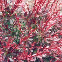 Berberis thunbergii 'Red Chief' 2