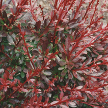 Berberis thunbergii 'Red Chief'