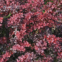Berberis thunbergii 'Rose Glow' 3