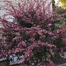 Berberis thunbergii 'Rose Glow' 2