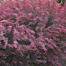Berberis thunbergii 'Rose Glow' 5