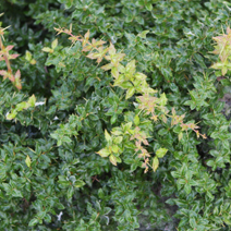 Berberis verruculosa 'Green Defender' 2