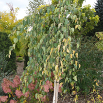Betula utilis 'Long Trunk'
