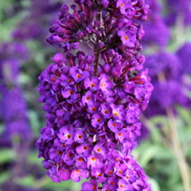 Buddleja davidii 'Black Knight' 5