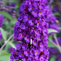 Buddleja davidii 'Black Knight' 6