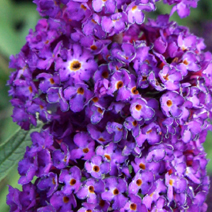 Buddleja davidii 'Black Knight' 7