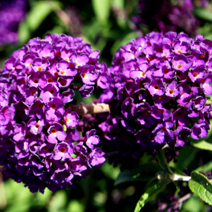 Buddleja davidii 'Black Knight' 8