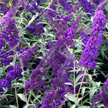 Buddleja davidii 'Black Knight' 4
