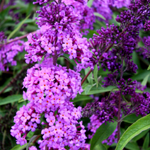 Buddleja davidii 'Empire Blue' 3