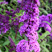 Buddleja davidii 'Empire Blue' 4