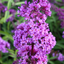 Buddleja davidii 'Empire Blue' 5