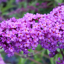 Buddleja davidii 'Empire Blue' 6