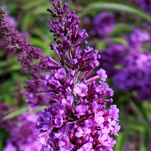 Buddleja davidii 'Empire Blue' 2