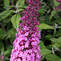 Buddleja davidii 'Summer Beauty' 3