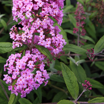 Buddleja davidii 'Summer Beauty' 5