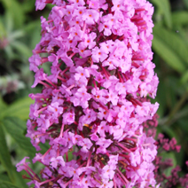 Buddleja davidii 'Summer Beauty' 7