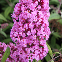 Buddleja davidii 'Summer Beauty' 8