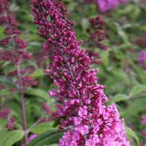 Buddleja davidii 'Summer Beauty' 9