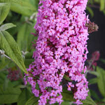 Buddleja davidii 'Summer Beauty' 10