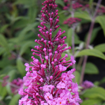 Buddleja davidii 'Summer Beauty' 11