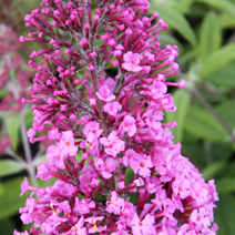 Buddleja davidii 'Summer Beauty' 2