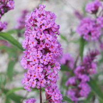 Buddleja davidii 'Border Beauty' 2