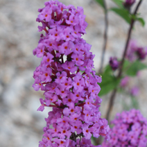 Buddleja davidii 'Border Beauty' 3