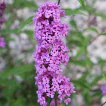 Buddleja davidii 'Border Beauty' 4