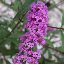 Buddleja davidii 'Border Beauty' 5