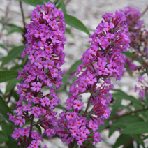 Buddleja davidii 'Border Beauty' 6