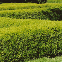 Buxus microphylla 'Faulkner' 2