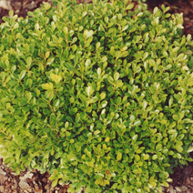 Buxus microphylla 'Rococo' 2