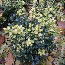 Buxus sempervirens 'Aureovariegata' 3