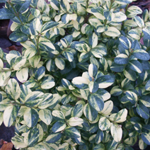 Buxus sempervirens 'Aureovariegata' 1