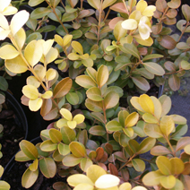 Buxus sempervirens 'Golden China' 2