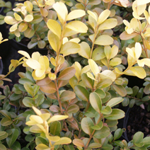 Buxus sempervirens 'Golden China' 1