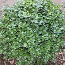 buxus sempervirens 39 rotundifolia 39 bukszpan. Black Bedroom Furniture Sets. Home Design Ideas