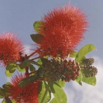 Callistemon sp.  1