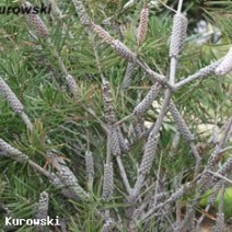 Callistemon sp.  2