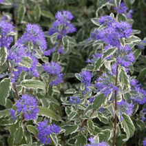 Caryopteris x clandonensis 'White Surprise' PBR 3