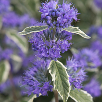 Caryopteris x clandonensis 'White Surprise' PBR