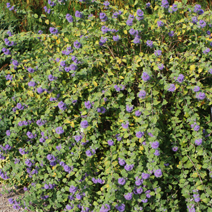 Caryopteris x clandonensis 'Heavenly Blue' 2