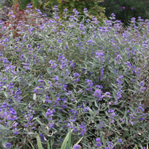 Caryopteris x clandonensis 'Heavenly Blue' 3
