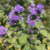 Caryopteris x clandonensis 'Heavenly Blue' 1